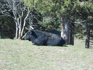 un yak